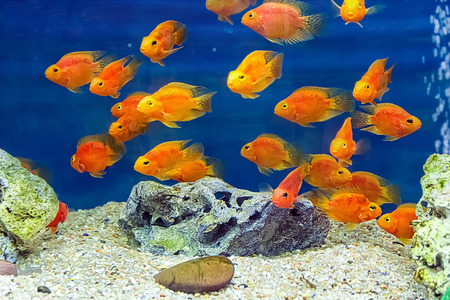 scalare: Photo of aquarium fish red parrot cichlid Stock Photo