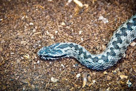 reptile: Poisonous blue reptile hunting on the ground
