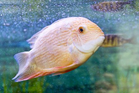 cichlasoma: Photo of fish cichlasoma severum red pearl in aquarium