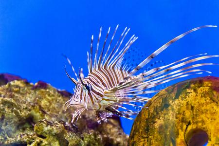 ocellaris: Photo of striped pterois volitans in aquarium Stock Photo