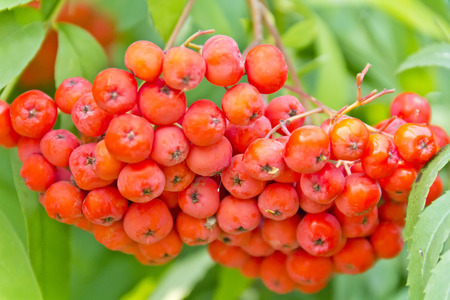 Red ripe rowanberry branch in summer day