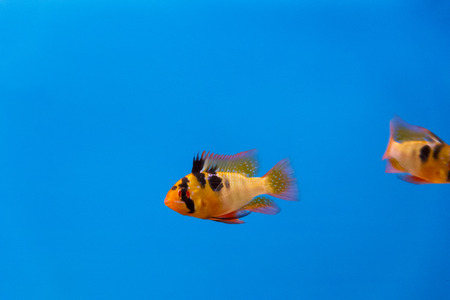ramirezi: Microgeophagus ramirezi orange fish swimming on blue background in aquarium Stock Photo