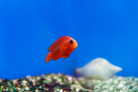 aulonocara: One red fish swimming in aquarium tank