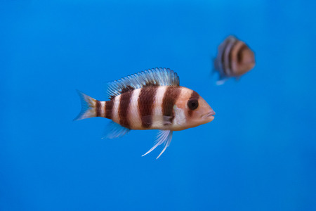 frontosa: Frontosa fish with black stripes in the water