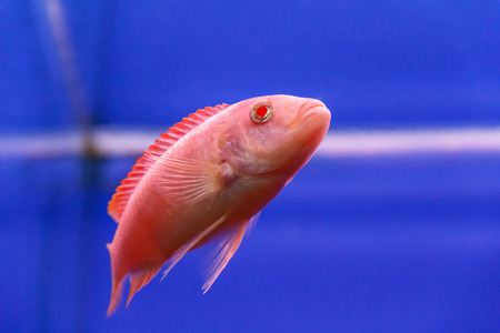 aulonocara: one red aulonocara fish swimming in aquarium tank Stock Photo