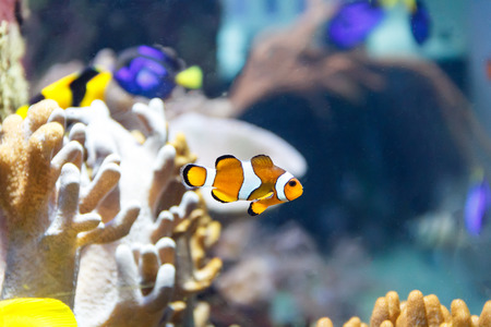 freshwater clown fish: One small orange clown fish swimming on reef background