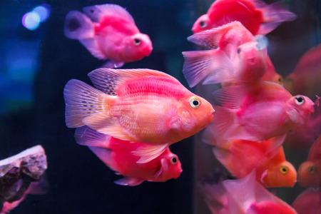 cichlid: Group of orange red parrot cichlid fishes on blue background