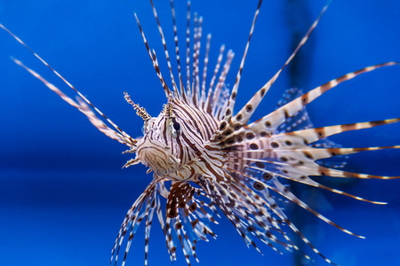 pterois: One large pterois volitans fish with spikes and stripes
