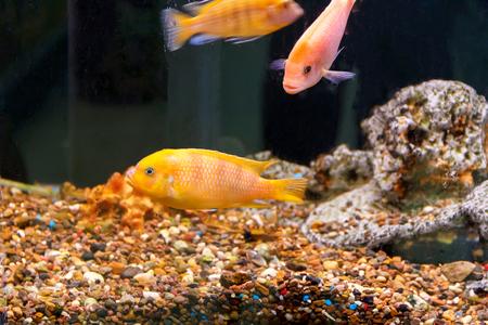 Couple orange aulonocara fishes in aquarium tank with reef on background