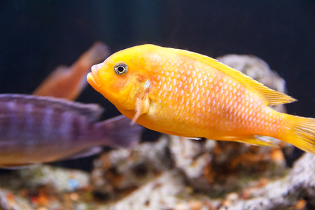 aulonocara: One yellow aulonocara fish swimming in aquarium tank