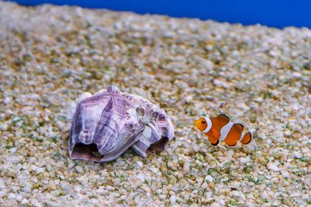 percula: one small clown fish swimming near clown seashell the bottom of aquarium