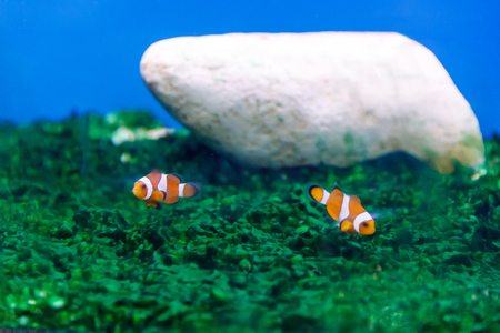 Two small clown fishes swimming on green background Stock Photo