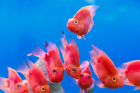cichlid: Group of red parrot cichlid fishes on blue background