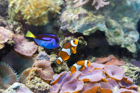 Aquarium fishes paracanthurus hepatus and clown swimming on reef background Stock Photo