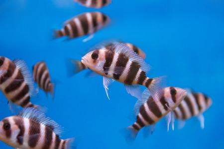 frontosa: Several frontosa cyphotilapia fishes with stripes swimming in the aquarium