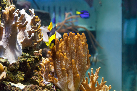 chaetodontidae: One small colorful pomacanthidae angel fish swimming in aquarium Stock Photo