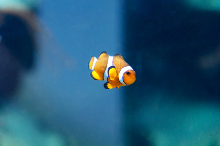 freshwater clown fish: One small orange fish on green background Stock Photo