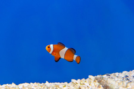 freshwater clown fish: One clown fish on blue background swimming in aquarium Stock Photo