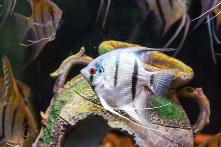 scalare: Triangle shaped gray scalare on background of an amphora swimming in aquarium Stock Photo