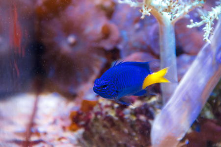 blue fish: One blue fish chrysiptera parasema with yellow tail swimming in aquarium Stock Photo