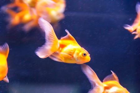 tropical fresh water fish: Photo of orange parrot fish swimming in aquarium