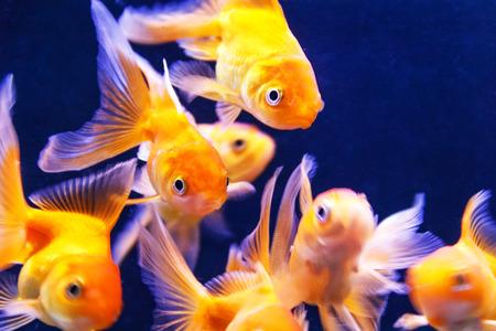 scalare: Photo of orange parrot fish swimming in aquarium