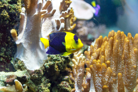 chaetodontidae: One small colorful pomacanthidae angel fish swimming in aquarium Stock Photo