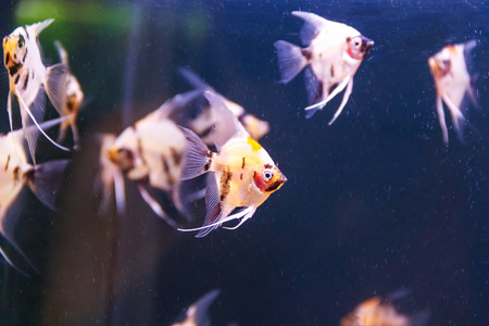 scalare: small group of triangle aquarium scalare fishes swimming