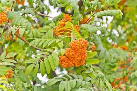 rowanberry: Yellow ripe rowanberry branch in sunny light Stock Photo