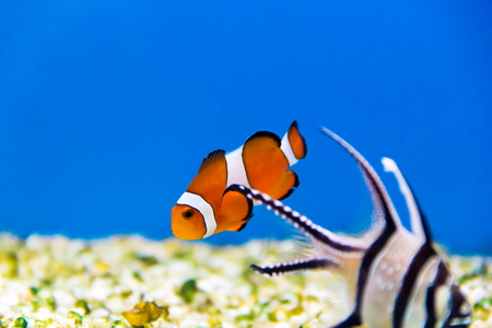 Orange small fish with white strips in an aquarium