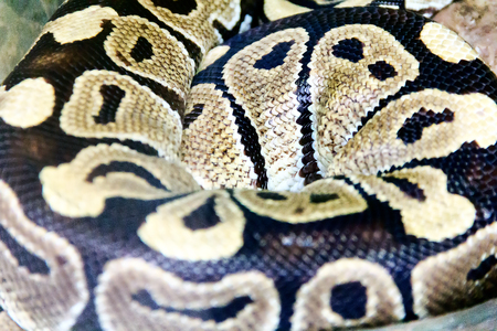 regius: Photo of real boa snake python skin texture close up