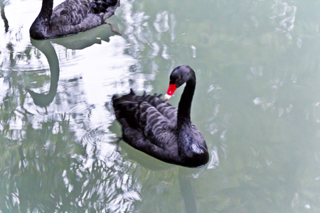 pecker: Horizontal photo of lonely black swan with red pecker