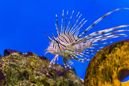 One large pterois volitans fish with spikes and stripes in blue salt water Stock Photo