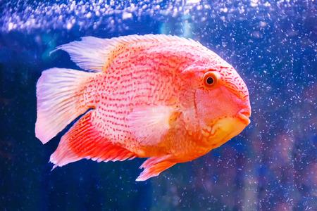 Photo of fish cichlasoma severum red pearl in aquarium