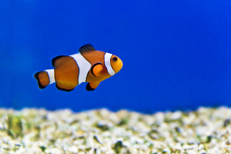 Horizontal photo of clown fish in aquarium.