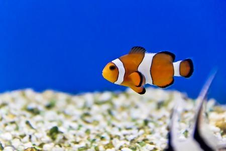 Horizontal photo of clown fish on aquarium bottom