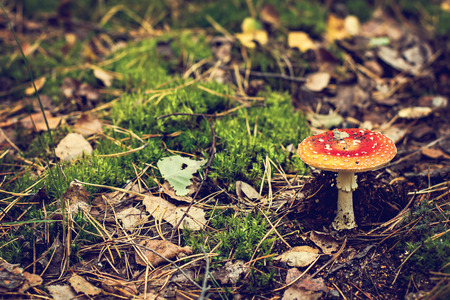 Amanita Muscaria. Red poisonous Fly Agaric mushroom in forest