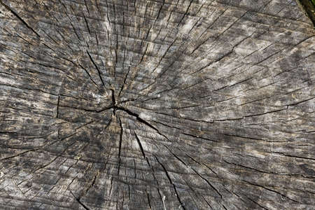 Annual circles of old stump. Cross section. photo