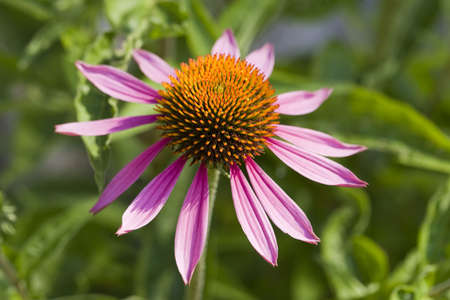 stimulate: Echinacea purpurea, an herb used to stimulate the immune system.