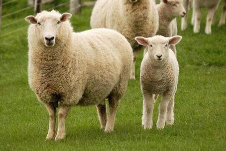and sheep: Madre oveja y su cordero