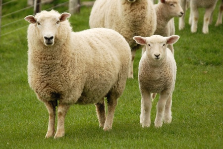 wool: Mother Sheep and her lamb