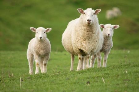 ovejas bebes: La madre de oveja con dos corderos Foto de archivo
