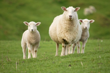 sheep wool: Mother ewe with twin lambs