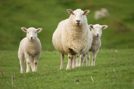 母羊および彼女の双子の子羊