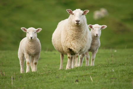and sheep: Madre ovejas y sus cr�as gemelas