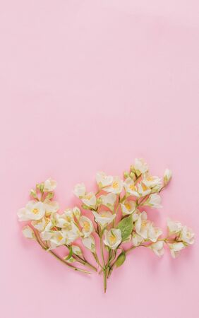 Delicate pastel pattern with white jasmine flowers on light pink background. Flat lay. Top view with copy space