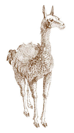 alpaca: lama  Illustration