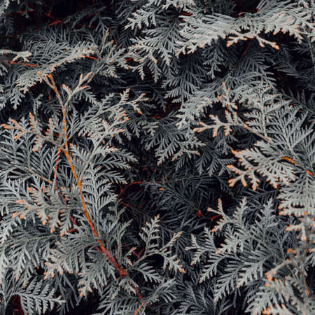 Abstract grey thuja texture. Nature background. Top view. Zdjęcie Seryjne