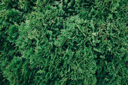 Abstract green thuja texture. Nature background. Top view. Banque d'images