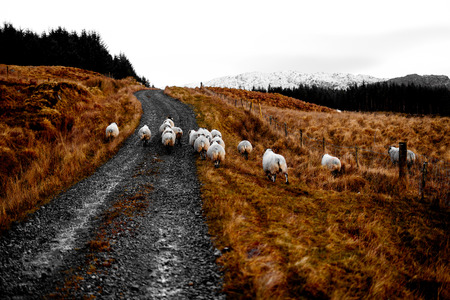 flocking: Sheep flocking in the bluestack mountains on a trail in Donegal Ireland with snow covered mountains in the background